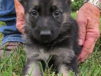 Outstandingly high quality AKC German Shepherd puppies