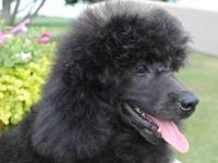 Gorgeous 5 mo. old Black Male, Moyen Standard Poodle