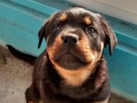 Hi, I have two  adorable rottweiler puppies They