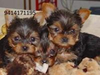she Is A Beautiful Tiny Registered Yorkie Female.