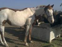 This is a 2 in 1 package.Beautiful Registered Mare,