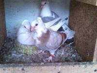 Hey there,. I have a couple of Owl Pigeons for sale.