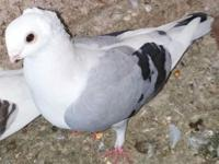 Hello I have 7 Young Owl pigeons left for sale. These