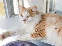 My story DLH Orange and White Neutered MaleOyen is a