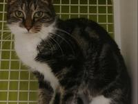 Ozazzie is a beautifully marked brown tabby and white