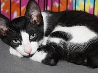 Ozzie's story Beautiful playful black and white bobtail