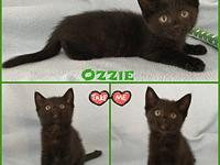 Ozzie's story Ozzie is a stunning black kitten with a