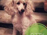Ozzy's story Meet Ozzy! Ozzy is an 8 year-old Mini