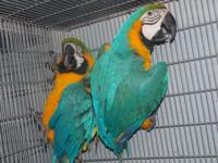 PROVNEN BRED PAIR..BLUE AND GOLD MACAWS ADULT PAIR,