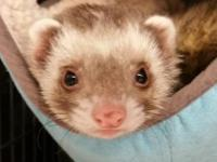 Meet Pabu! I'm named after a fire ferret from Avatar: