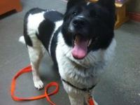 Pacha's story Meet Pacha, a gorgeous 4 year old Akita