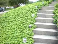 Beautiful pachysandra for ground cover - boxed and