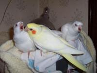 Parrotlett children- there are 3 green males and one.