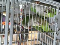 Paco & Maxine are a pair of Quaker parrots of unknown
