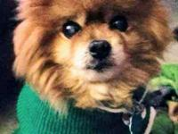 Paddington, AKA Paddy is a 7yr old male Pomeranian.