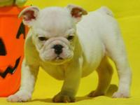 Paddy is a white male English Bulldog puppy with