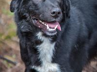 Padfoot is a 2-3yo Lab/Border Collie mix who weighs