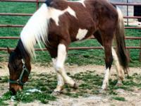 2 Year Old QH Paint Filly Nice And Very Sweet Easy To