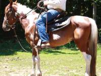 Apache is a Spotted Saddle mix gelding about 14.2HH