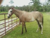Gentle paint mare. She is a pacer (gaited) horse. Aprox