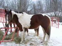 Blaze is an 11 year old paint mare that needs a job.