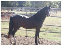 Paint/Pinto - Babe - Large - Young - Female - Horse
