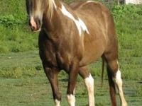 Paint/Pinto - Belle - Large - Adult - Female - Horse