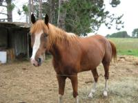 Paint/Pinto - Blue - Medium - Young - Male - Horse Blue