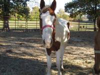 Paint/Pinto - Cherokee - Large - Young - Female -