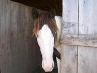 Paint/Pinto - Clover - Large - Young - Female - Horse
