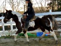 Paint/Pinto - Cocoa - Medium - Adult - Female - Horse