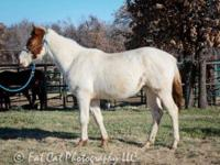 Paint/Pinto - Colter - Medium - Adult - Male - Horse