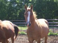 Paint/Pinto - Copper - Large - Adult - Male - Horse