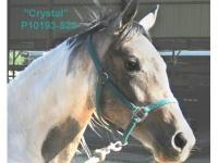 Paint/Pinto - Crystal - Medium - Young - Female -