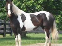 Paint/Pinto - Esprit - Large - Adult - Female - Horse