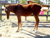 Paint/Pinto - Flash - Small - Young - Male - Horse