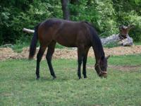 Paint/Pinto - Gemma - Medium - Young - Female - Horse