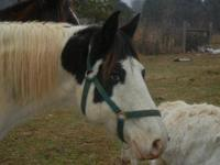 Paint/Pinto - Glenna - Large - Young - Female - Horse