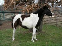 Paint/Pinto - Horatio - Medium - Young - Male - Horse