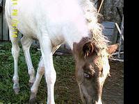 Paint/Pinto - Jazz - Medium - Adult - Female - Horse