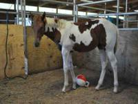 Paint/Pinto - Jinx - Large - Young - Female - Horse