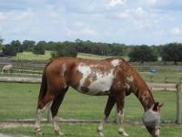 Paint/Pinto - Lace - Medium - Senior - Female - Horse