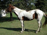 Paint/Pinto - Lefty - Medium - Adult - Male - Horse