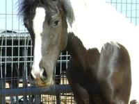 Paint/Pinto - Levi - Medium - Young - Male - Horse LEVI