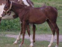 Paint/Pinto - Lexi - Large - Young - Female - Horse