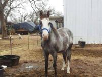 Paint/Pinto - Marbles - Medium - Adult - Male - Horse