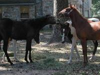 Paint/Pinto - Oreo - Small - Young - Female - Horse
