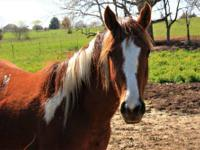 Paint/Pinto - Orion - Medium - Adult - Female - Horse