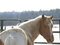 Paint/Pinto - Pete - Medium - Adult - Male - Horse Pete