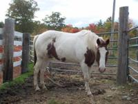 Paint/Pinto - Powder - Medium - Adult - Male - Horse